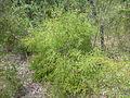 Persoonia hirsuta, Boree Track, Yengo National Park.jpg
