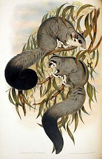 Squirrel glider species of mammal