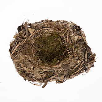Black robin - Petroica traversi nest from the collection of Auckland Museum
