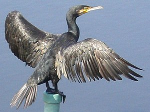 Ugayafukiaezu - Great cormorant with individual feathers visible, Hyōgo Prefecture, Japan