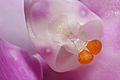 Phalenopsisregnier.jpg