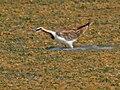 Pheasant-tailed Jacana (Hydrophasianus chirurgus) W IMG 6762.jpg