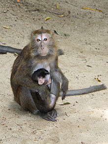 Philippine long-tailed macaque.jpg