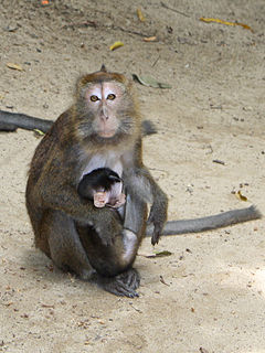 Philippine long-tailed macaque Subspecies of Old World monkey