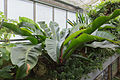 Philodendron insigne - 71.jpg