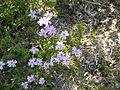 Phlox subulata Tamanonagalei01.jpg
