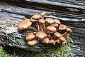 Pholiota squarrosa 88581571.jpg