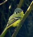 Phylloscartes poecilotis (Atrapamoscas variegado) - Flickr - Alejandro Bayer (1).jpg