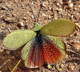 Phymateus viridipes - Image: Phymateus viridipes, c, Zoutpan