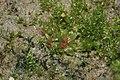 Physcomitrella patens (a, 144649-481016) 6951.JPG