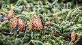 Picea sitchensis, Fourmile Creek, Coos Bay, Oregon 4.jpg