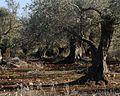 PikiWiki Israel 16744 Plants of Israel.jpg