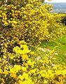 PikiWiki Israel 28674 Calicotome Villosa.jpg