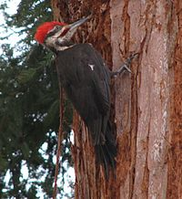 Pileated-on-tree.jpg