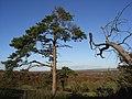 Pine tree, Martinsell Hill - geograph.org.uk - 282567.jpg