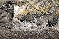 Pinguinos de Magallanes Monumento Natural Islotes de Puñihuil 16.jpg