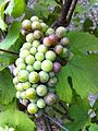 Pinot noir cluster at beginning of veraison.JPG