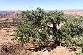 Pinus edulis kz23.jpg