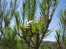 Pinus halepensis cone7 agost06.jpg