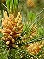 Pinus monticola foliage oldpollencones.jpg