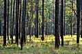 Pinus palustris Ocala USDAFS.jpg