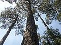 Pinus roxburghii, Murree hill station, Pakistan.jpg