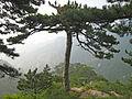 Pinus tabuliformis Taishan.jpg