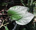 Piper kadsura (leaf s2).jpg