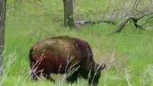 File:Plains bison in North Dakota.webm