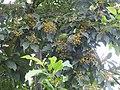 Plant Ehretia acuminata DSCN8670 02.jpg