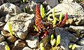 Plantes sur les roches du Barrage de sidi Salem 3.jpg