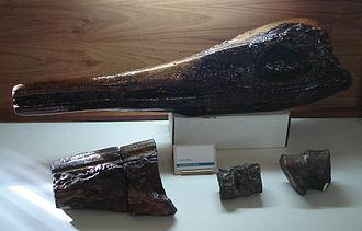 Platypterygius - Skull of P. sachicarum in the Paleontological Museum in Villa de Leyva, Colombia