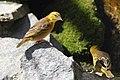 Ploceus cucullatus - Tiergarten Schönbrunn.jpg