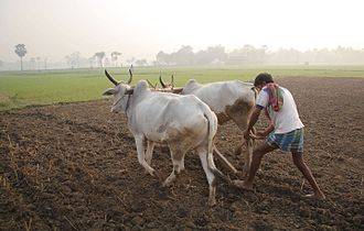 Agriculture in India - Indian agriculture includes a mix of traditional to modern farming techniques. In some parts of India, traditional use of cattle to plough remains in use. Traditional farms have some of the lowest per capita productivities and farmer incomes.