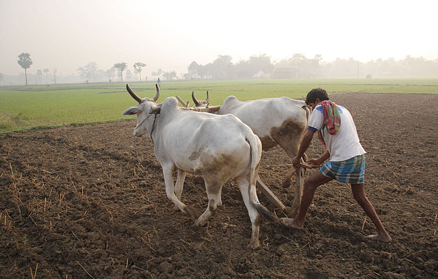 Indian farmer ploughing a field in traditional style - Wikimedia commons