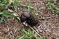 Plum dung beetle (Anachalcos convexus) 1 of 4.jpg