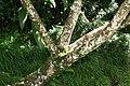 Plumeria rubra 24zz.jpg