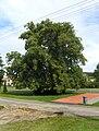 Polní Chrčice, Lime Tree.jpg