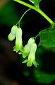 Polygonatum multiflorum - flowers 01.jpg