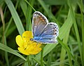Polyommatus icarus female Common Blue (24872378967).jpg