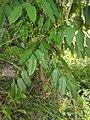 Polyscias australiana foliage.jpg