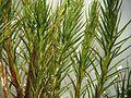 Polytrichum juniperinum.jpeg