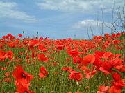 Poppy wikipedia poppies near kelling north norfolk uk june 2002 mightylinksfo