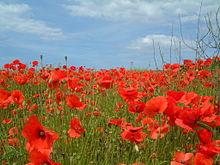 Poppies wikiquote poppies mightylinksfo