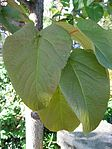 Populus lasiocarpa leaves 01 by Line1.JPG