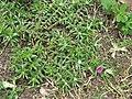 Portulaca pilosa plant1 (17141897947).jpg
