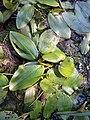 Potamogeton natans sl1.jpg