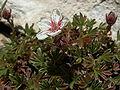 Potentilla caulescens07.jpg