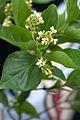 Premna microphylla.jpg