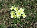 Primula vulgaris 1.JPG